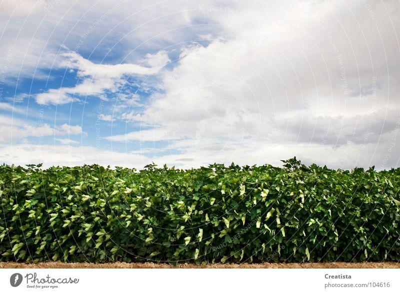 Green Leafy Crop Himmel Ernährung Hintergrundbild Bauernhof Länder Kumulus