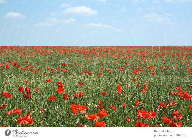 Rot-Grün schön Natur Landschaft Wolken Frühling Schönes Wetter Pflanze Blüte Mohnfeld Mohnblüte Blühend Duft genießen leuchten ästhetisch Unendlichkeit blau