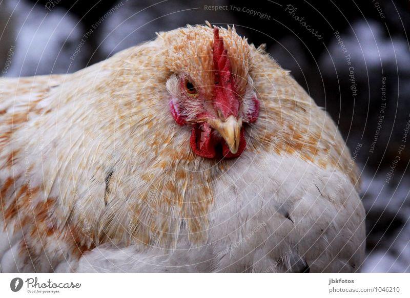 Dicke Berta [5] Natur schön Tier Auge Wärme feminin natürlich Glück Vogel wild elegant Feder ästhetisch niedlich einzigartig rund