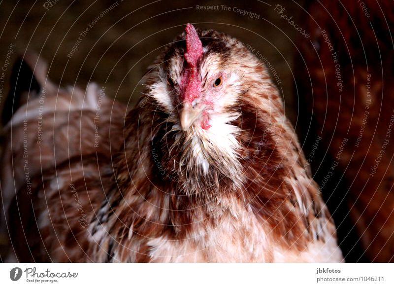 Glückshuhn schön Tier Auge Vogel Wildtier Feder einzigartig Tiergesicht Haustier Ei sanft Schnabel Haushuhn Nutztier Tierliebe Geflügel