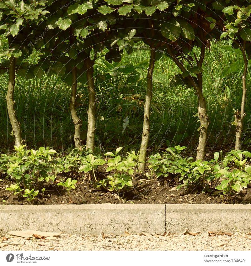 das wird nochmal ne dichte hecke... Hecke Sträucher Baum grün Ecke Bordsteinkante Kies weiß Gras Sommer geschnitten Park zurückziehen Garten Baumstamm