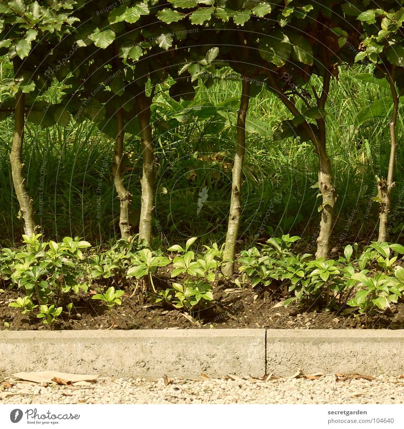 das wird nochmal ne dichte hecke... weiß Baum grün Sommer Gras Garten Park Ordnung Ecke Sträucher Klima Reihe Baumstamm Kies Hecke