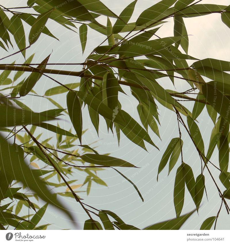 bambus Himmel grün Sommer Garten Park Bambusrohr zurückziehen