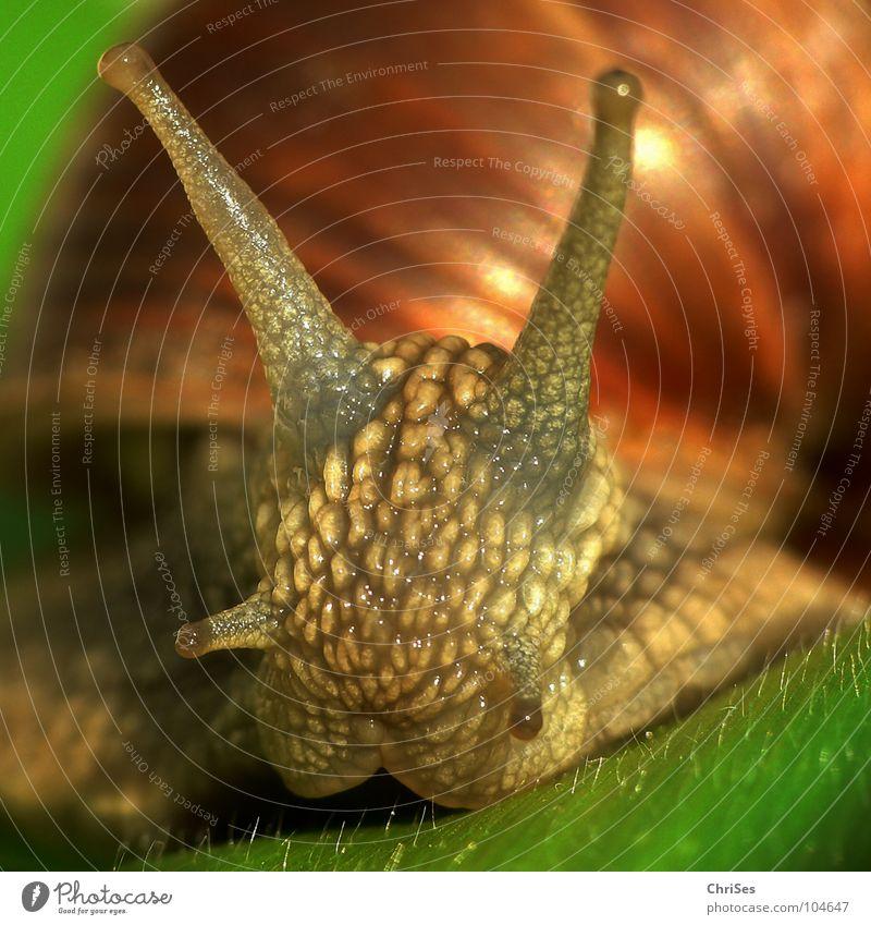 Weinbergschnecke 02 (Helix pomatia Linnaeus) Haus Tier Garten Park braun Farbe Schnecke Fühler krabbeln langsam schleimig Schleim Weinbergschnecken