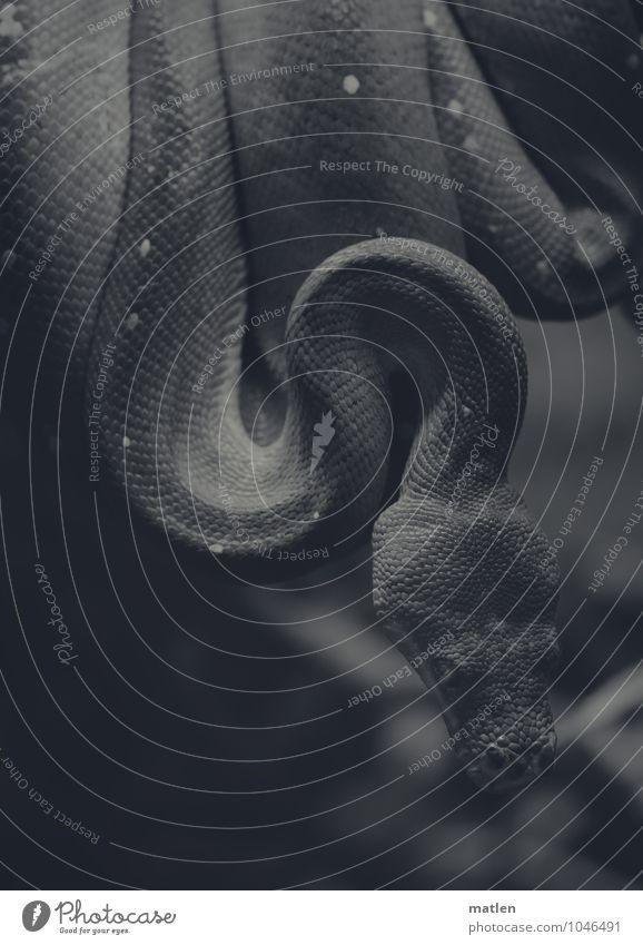 HWS Tier Schlange Tiergesicht Schuppen dunkel Leben Schlangenlinie Wirbelsäulenverkrümmung Schwarzweißfoto Detailaufnahme Menschenleer Textfreiraum unten
