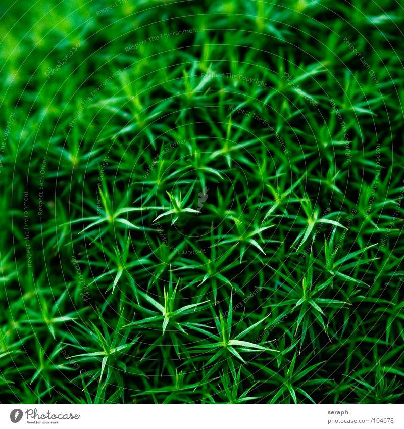 Moossterne Natur Pflanze grün Hintergrundbild klein Wachstum Stern (Symbol) weich Stengel Botanik Nest Flechten Waldboden Sporen