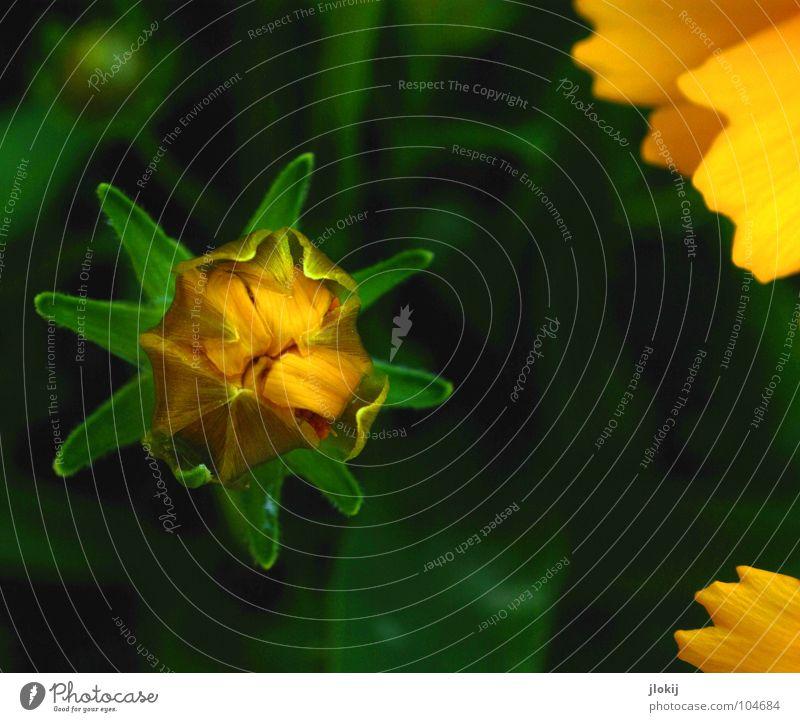 Nachzügler Blume Blüte gelb Wachstum Pflanze klein winzig Blühend grün Biologie Natur Wiese Blütenblatt sprießen Garten Park Sommer flower Blütenknospen biopogy