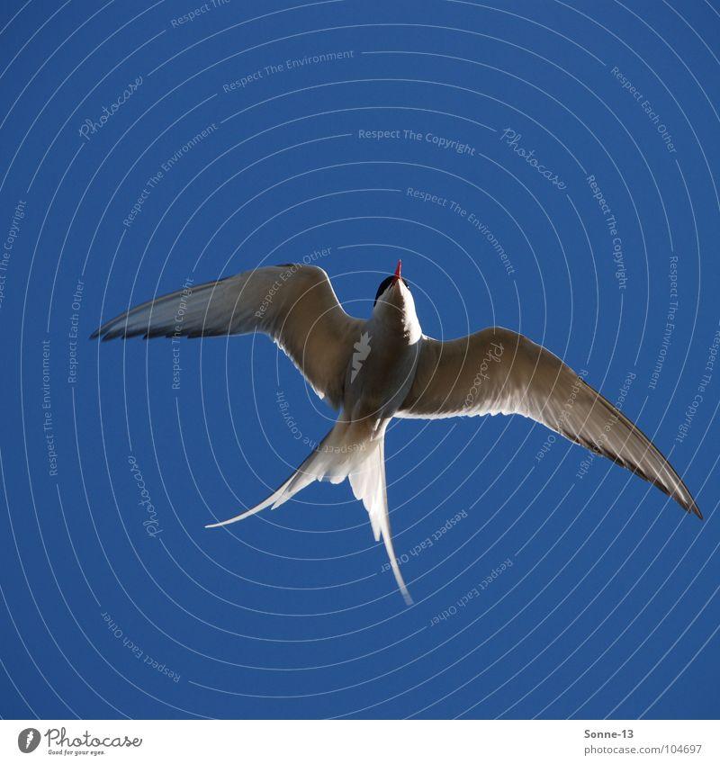 anmutig I Himmel blau Tier Luft Vogel Luftverkehr Feder Flügel Anmut Küstenseeschwalbe