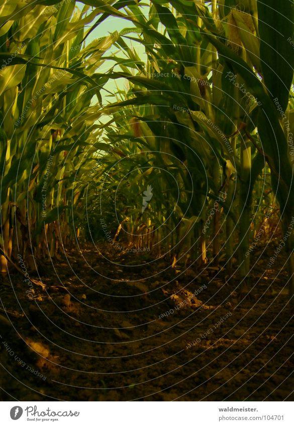 Maisfeld am Abend Feld Landwirtschaft Feldfrüchte Blatt Erde Schatten grün braun Biokraftstoff nachwachsender Rohstoff Bioethanol