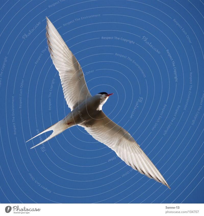 anmutig II Himmel blau Freiheit Luft Vogel Luftverkehr Flügel Anmut Tier Küstenseeschwalbe