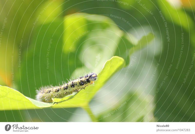 Die kleine Raupe Nimmersatt Tier grün Garten Insekt Blatt Pflanzenschädlinge Farbfoto Außenaufnahme Menschenleer Textfreiraum rechts Textfreiraum oben Tag