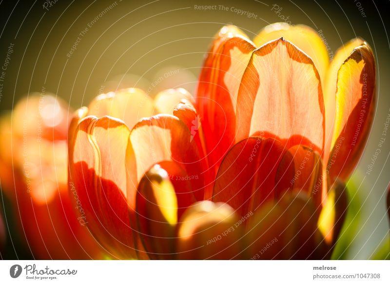 Gegenlicht II Lifestyle Stil Valentinstag Muttertag Frühling Blume Blatt Frühblüher Frühlingsstrauss Blühend leuchten Wachstum Freundlichkeit schön braun gelb