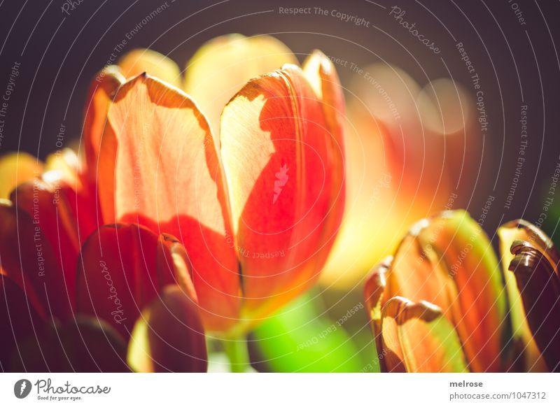 backlight schön grün Erholung Blume Blatt Beleuchtung Frühling Blüte Stil braun Lifestyle glänzend orange Zufriedenheit leuchten elegant