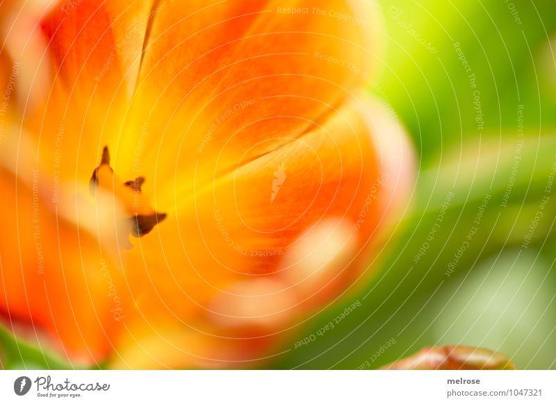 Eintauchen elegant Stil Frühling Schönes Wetter Tulpe Blatt Blüte Frühblüher Garten Blütenstempel Blühend Lächeln leuchten träumen schön braun gelb grün orange