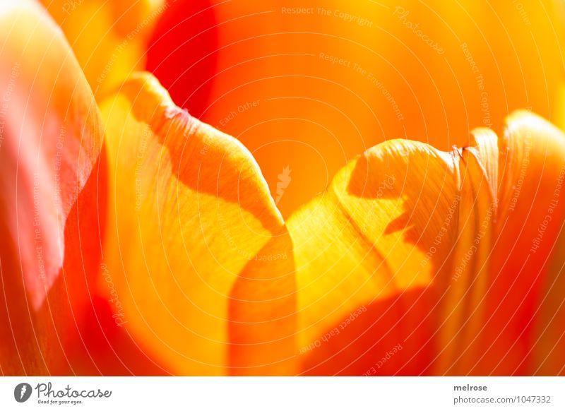 Frühlingslaune schön rot Blatt Liebe Blüte Stimmung Freundschaft träumen orange leuchten elegant Fröhlichkeit Lächeln Lebensfreude Warmherzigkeit