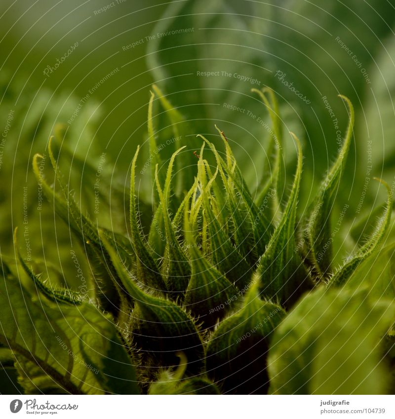 Sonnenblume Natur Blume grün Pflanze Sommer Blüte Wärme Feld Umwelt frisch Wachstum Physik Blütenknospen knackig gedeihen