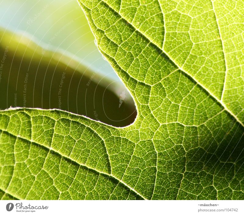 | veins | grün Sommer Blatt schwarz Finger Gefäße Versorgung Photosynthese umrandet