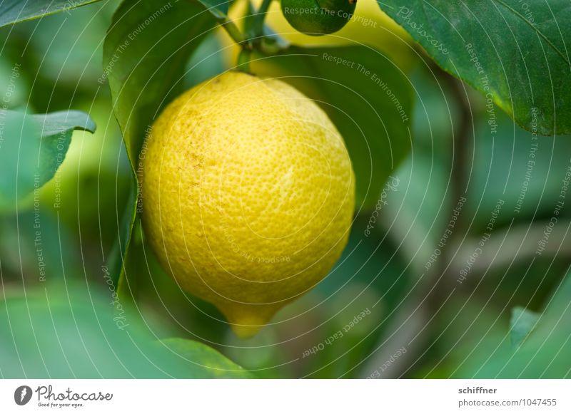 Vitaminhandgranate Natur Pflanze grün gelb Lebensmittel Frucht Sträucher exotisch Zitrone Nutzpflanze Grünpflanze sauer Zitrusfrüchte zitronengelb Zitronensaft