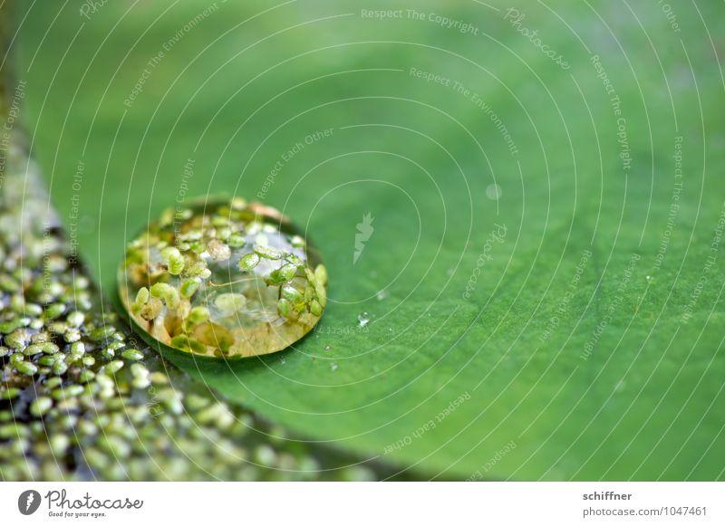 spannend, die Oberfläche Pflanze grün Blatt Wassertropfen Tropfen exotisch feucht Grünpflanze Blattadern Blattgrün Miniatur Seerosen Feuchtgebiete Blattfaser