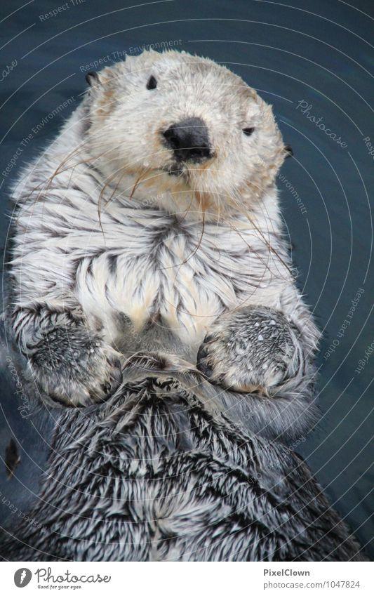Seeotter Natur Ferien & Urlaub & Reisen blau Wasser Meer Freude Tier grau Freiheit Schwimmen & Baden Freizeit & Hobby Tourismus Wassertropfen ästhetisch