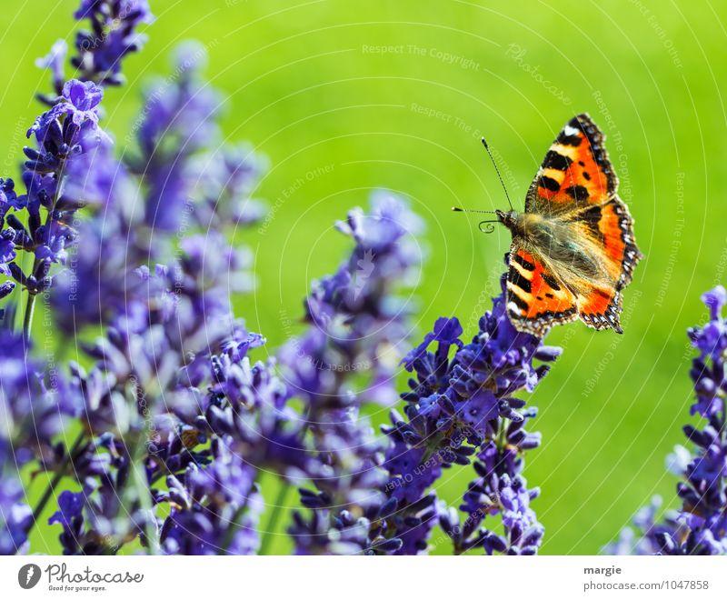 Ein Schmetterling auf Lavendel- Blüten Umwelt Natur Pflanze Frühling Sommer Blume Gras Wiese Garten Tier 1 Blühend fliegen leuchten sitzen ästhetisch Erotik