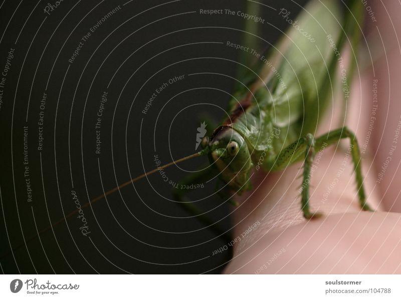Jump I Insekt Fühler grün Hand krabbeln Unschärfe Tiefenschärfe Finger schwarz dunkel grau festhalten Makroaufnahme Nahaufnahme Langeweile Heuschrecke Hüpfer