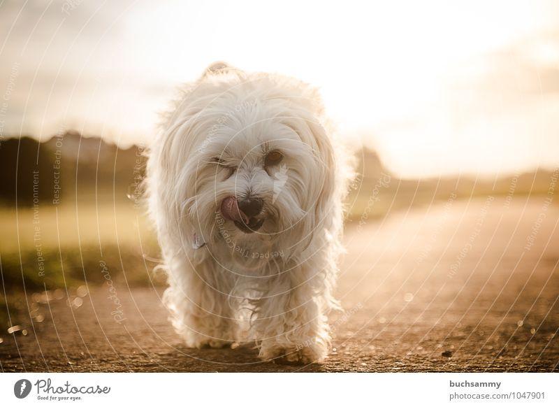 Von der Sonne getrieben Hund weiß Tier Wärme Straße klein gehen braun orange gold Fell Haustier langhaarig direkt Haushund