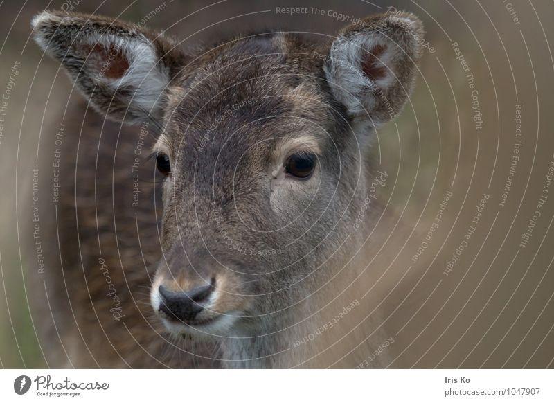 hirschblick Natur Tier Wildtier Tiergesicht Zoo Reh Rehauge 1 beobachten Blick ästhetisch natürlich braun Tierliebe Hirschkuh Farbfoto Gedeckte Farben