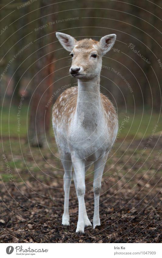 Dama Natur Tier Wald Wildtier Zoo Damwild 1 beobachten Blick natürlich feminin braun Tierliebe Wachsamkeit unschuldig Hirschkuh Farbfoto Gedeckte Farben