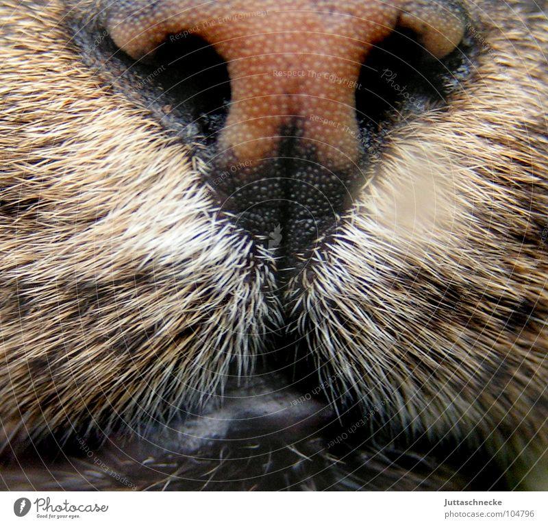 Nass Katze Schnauze feucht nass frontal Haustier Hauskatze Fell nah sabbern Nasenloch Schnurrhaar Schnurren Miau Konzentration Säugetier Kraft Katzenschnauze