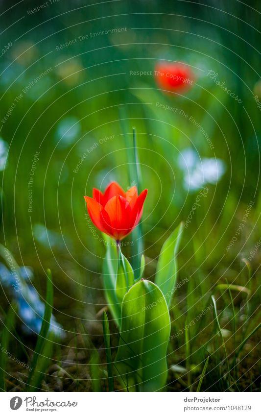 Die Tulpen blühen auch schon Natur Ferien & Urlaub & Reisen Pflanze rot Blume Landschaft Freude Umwelt Gefühle Wiese Gras Frühling Blüte Berlin Freiheit Park