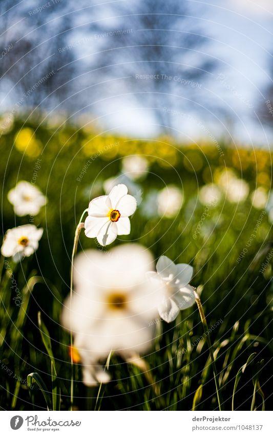Es blüht schon wieder Natur Ferien & Urlaub & Reisen Pflanze weiß Blume Landschaft Freude Umwelt Leben Frühling Gefühle Wiese Berlin Glück Park Tourismus