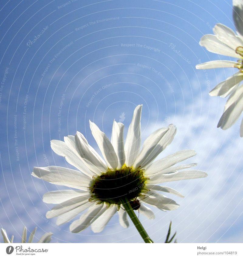 doch noch Sommer...??? Blume Blüte Kamillenblüten Blühend erleuchten Beleuchtung Licht Pflanze Heilpflanzen Blütenblatt Stengel Wolken weiß grün gelb