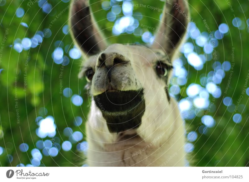 D. Lama Tier Baum Nutztier Tiergesicht Fell Zoo lustig Nüstern Säugetier Maul Hals Auge Ohr Farbfoto Außenaufnahme Froschperspektive Menschenleer Tag