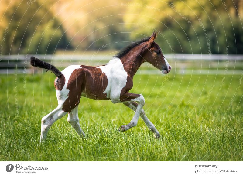Glückliches Fohlen Freizeit & Hobby Reiten Sport Tier Gras Wiese Nutztier Pferd 1 Geschwindigkeit braun grün weiß Jung Weide Sonnenschein Stalltier Zaun