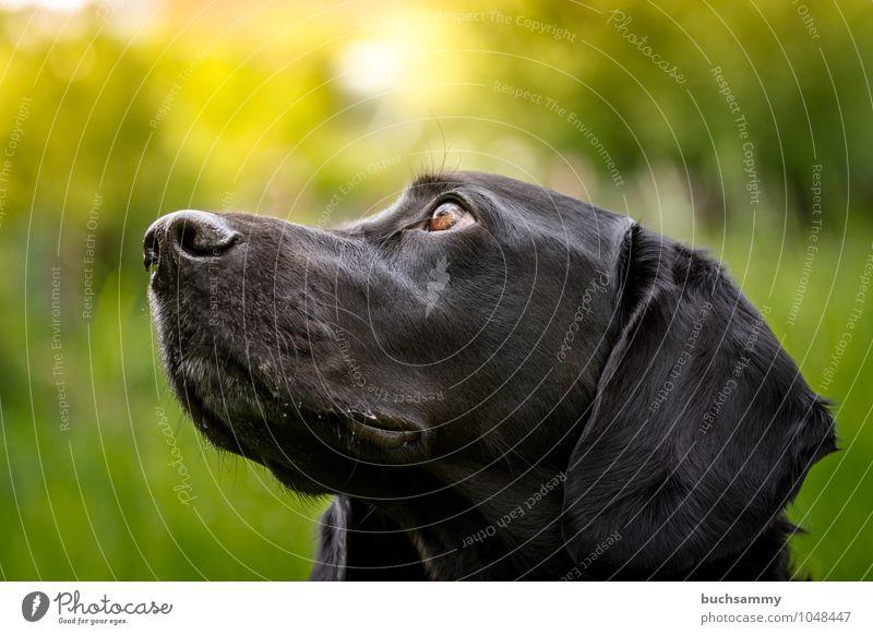 Treu Hundeaugen Tier Haustier Tiergesicht 1 braun gelb grün schwarz Treue Augen Haushund Kopf Labrador Rassehund Sonnenschein Farbfoto Außenaufnahme