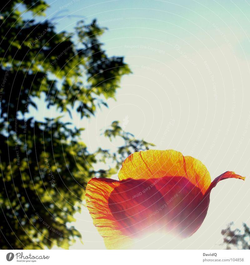 Mohnschein II Wegrand Klatschmohn Blume Blüte Licht Gegenlicht Blütenblatt rot grün zart Blühend Sommer Lichtstrahl Himmel blau Schönes Wetter orange verblüht