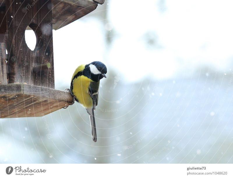 Kohlmeise im Winter Tier Wildtier Vogel Meisen Singvögel 1 beobachten Fressen frieren füttern Blick sitzen ästhetisch schön kalt niedlich gelb schwarz weiß