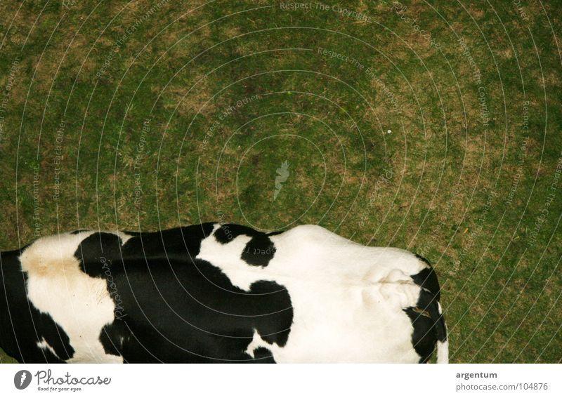 weidewirtschaft Natur grün weiß Tier schwarz Wiese Gras Rücken Lebensmittel Ernährung Landwirtschaft Weide Kuh lecker Säugetier Rind