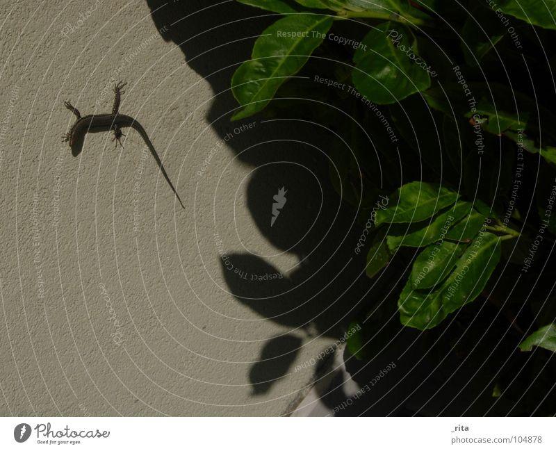 eidechse Echte Eidechsen Blatt Reptil Tier grün Italien Caorle Sommer Wand Ekel schatte Blick Natur