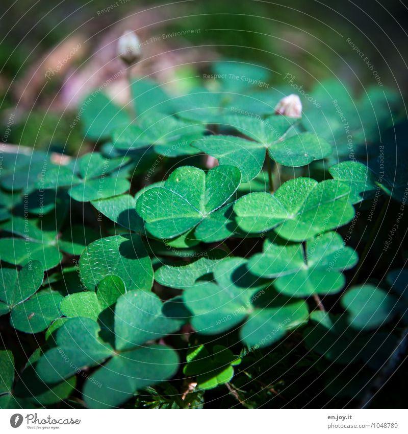 Waldklee Natur Pflanze grün Sommer Blatt Landschaft Umwelt Wiese Blüte Frühling Glück Wachstum Lebensfreude Zeichen Wunsch Blütenknospen