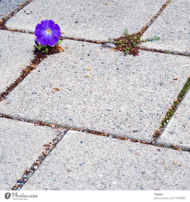 Der freie Wille schön Blume Pflanze Einsamkeit Frühling Stein Kraft Beton Boden Blühend Botanik Schweden einrichten