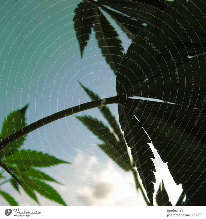 MORE FIRE herb Kräutergarten Ecke Blatt Reifezeit Wachstum züchten ungesetzlich Verbote Rauschmittel Reggae Pflanze Feld Wiese Sonne Hanf Cannabis Gras Wolken