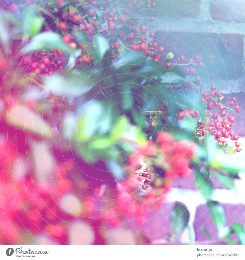 rote Beeren Umwelt Natur Pflanze Sommer Herbst Blume Sträucher Blatt Grünpflanze Wildpflanze Blühend Duft exotisch frisch grün weiß rund Frucht Beerensträucher