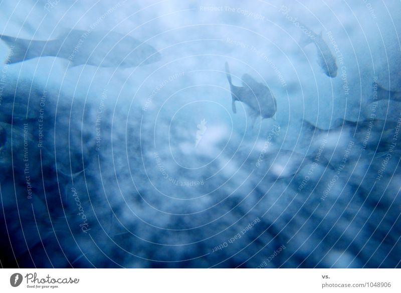 blaubb. Umwelt Natur Teich Bach Fluss Tier Wildtier Fisch Schuppen Aquarium Schwarm kalt nass Geschwindigkeit Barsch Karpfen Fischschwarm Unterwasseraufnahme