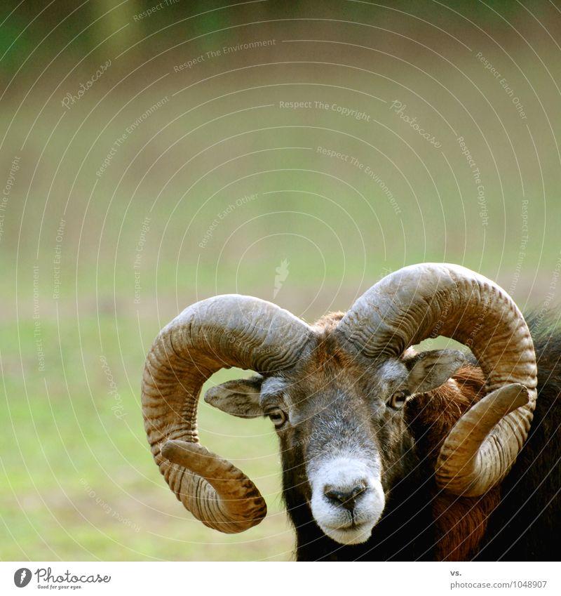 I am Horny. Frühling Wiese Feld Wald Wildtier Tiergesicht Zoo 1 Brunft Freiheit Bock Schaf Schafherde Mufflon Tierschutz Massenmord Außenaufnahme Tierporträt