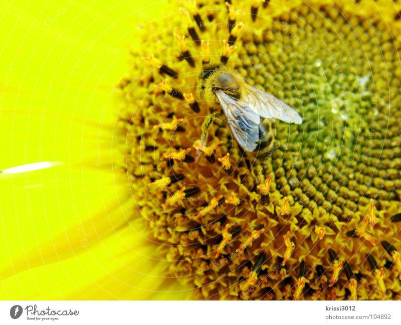 sonnenblumenbienchen Biene Sonnenblume gelb schwarz braun grün Blüte Sonnenblumenkern Blütenblatt Fühler Insekt Pollen Staubfäden Sammlung fleißig Honig