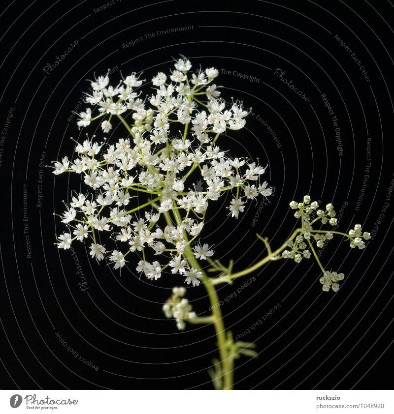 Anis, Pimpinella, anisum Kräuter & Gewürze Tee Gesundheit Pflanze Wildpflanze frei schwarz weiß Anisbluete Weisse Blueten Wiesenblume heimische Wildpflanzen