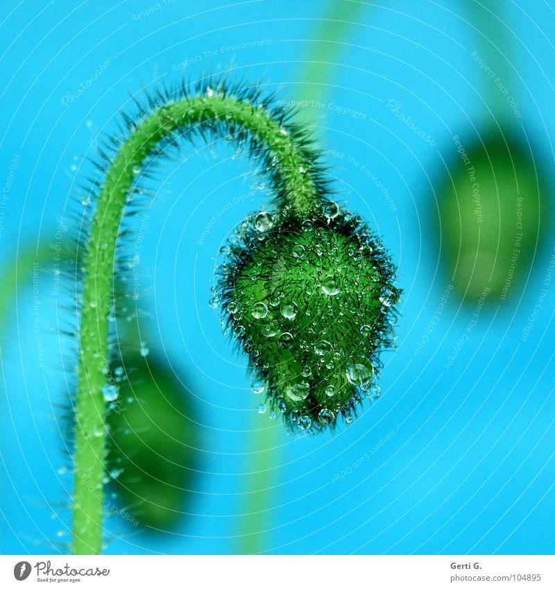 KLATSCHnassMOHN Blume Blüte grün harmonisch Klatschmohn Mohn Mohnkapsel Pflanze türkis stachelig 3 Tiefenschärfe Wassertropfen hydrophob rund blau-grün