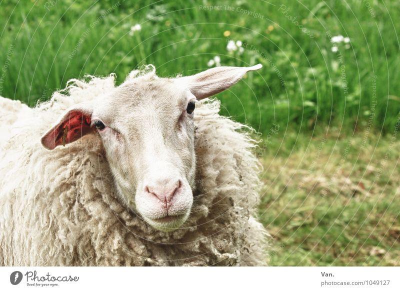 Grünzeug mit Schaf Natur Pflanze Tier Blume Gras Wiese Nutztier 1 weich grün weiß Farbfoto mehrfarbig Außenaufnahme Menschenleer Tag Tierporträt